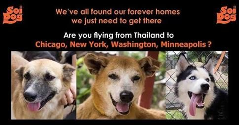 Flight Volunteers WANTED for the USA!  Would you like to help an adopted Soi Dog get to its new home? Are you departing from Thailand going to Washington, USA?  If you are traveling on booked tickets with Thai Airways, Qatar, Korean Air, JAL, EVA, Lufthansa or KLM please contact jan@soidog-foundation.org for more information.  http://www.soidog.org/en/be-a-flight-volunteer/