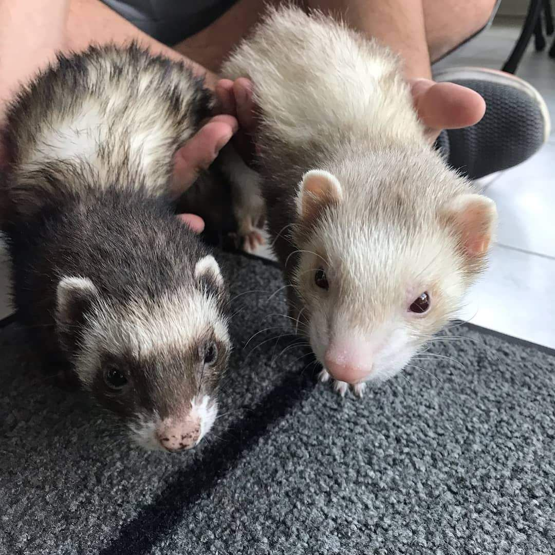 13 Aww Poor Ferrets That Came To The Rescue Ferret Voice In 2020 Cute Ferrets Pet Ferret Cute Baby Animals