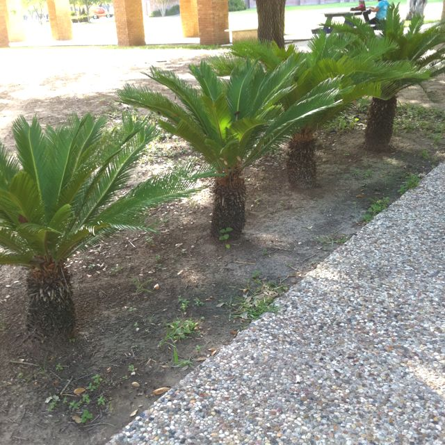 Trees For Small Backyard: Mini Palm Tree, Outdoor Landscaping