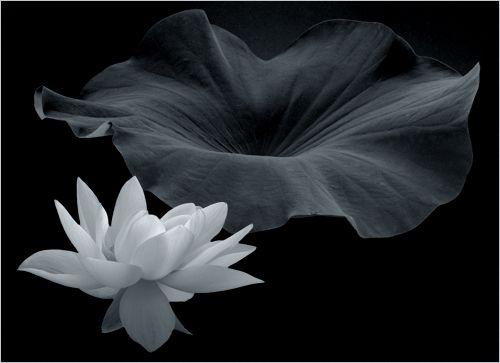 OTTOKALOS noir   Lotus flower images, Lotus flower art ...