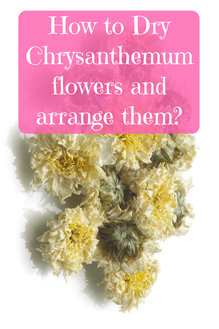 How To Dry Chrysanthemum Flowers And Arrange Them Chrysanthemum Flower Chrysanthemum Forever Flowers