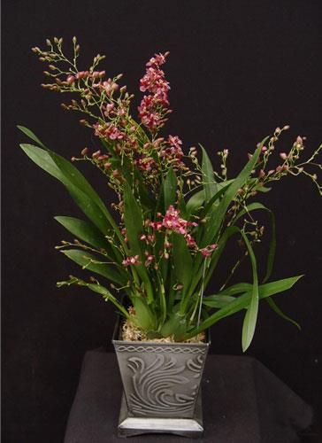 Oncidium Twinkle 'Red Fire' presented by Orchids Limited