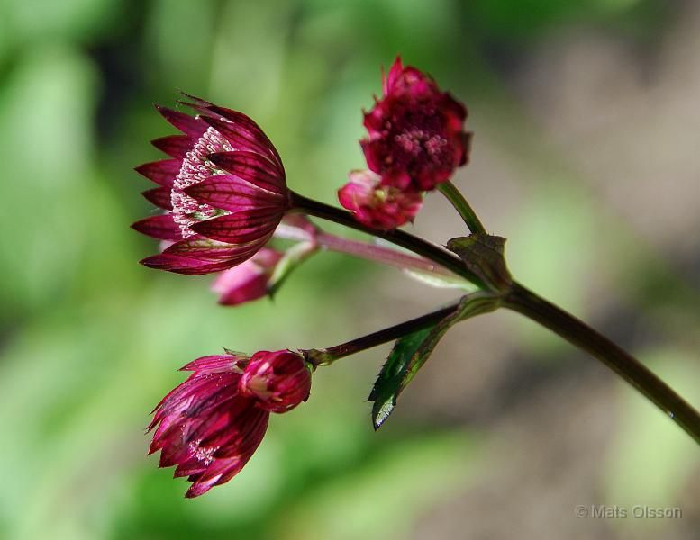 Astrantia major 'Ruby Wedding', Stjärnflocka in Swedish