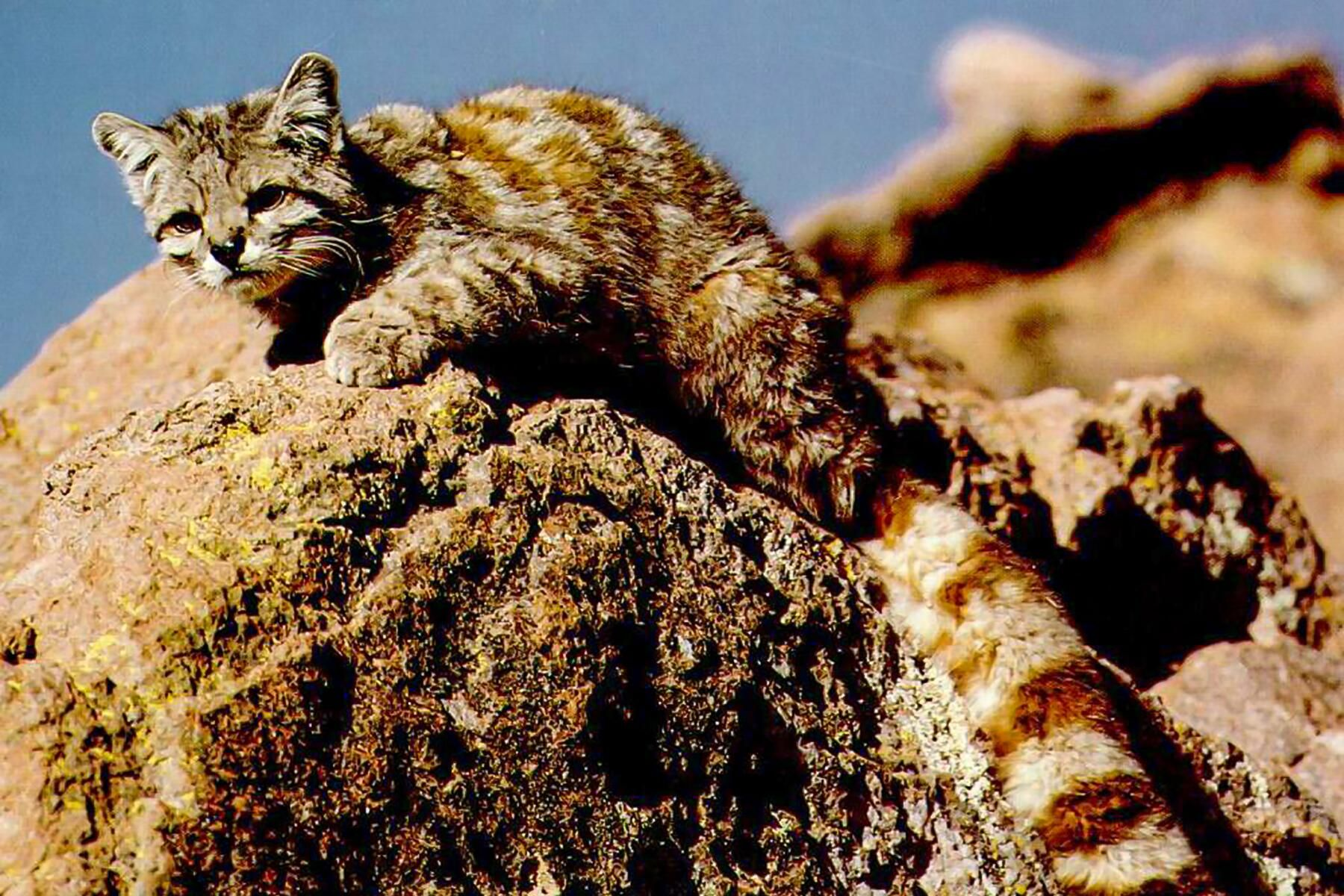 Andean Mountain Cat in 2020 Small wild cats, Cat with