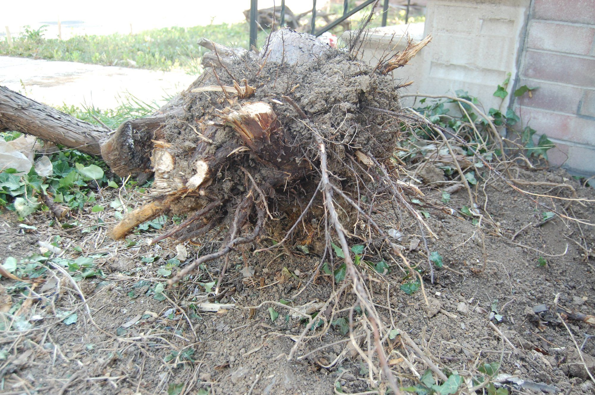 How To Remove A Juniper Bush Step By Instructions