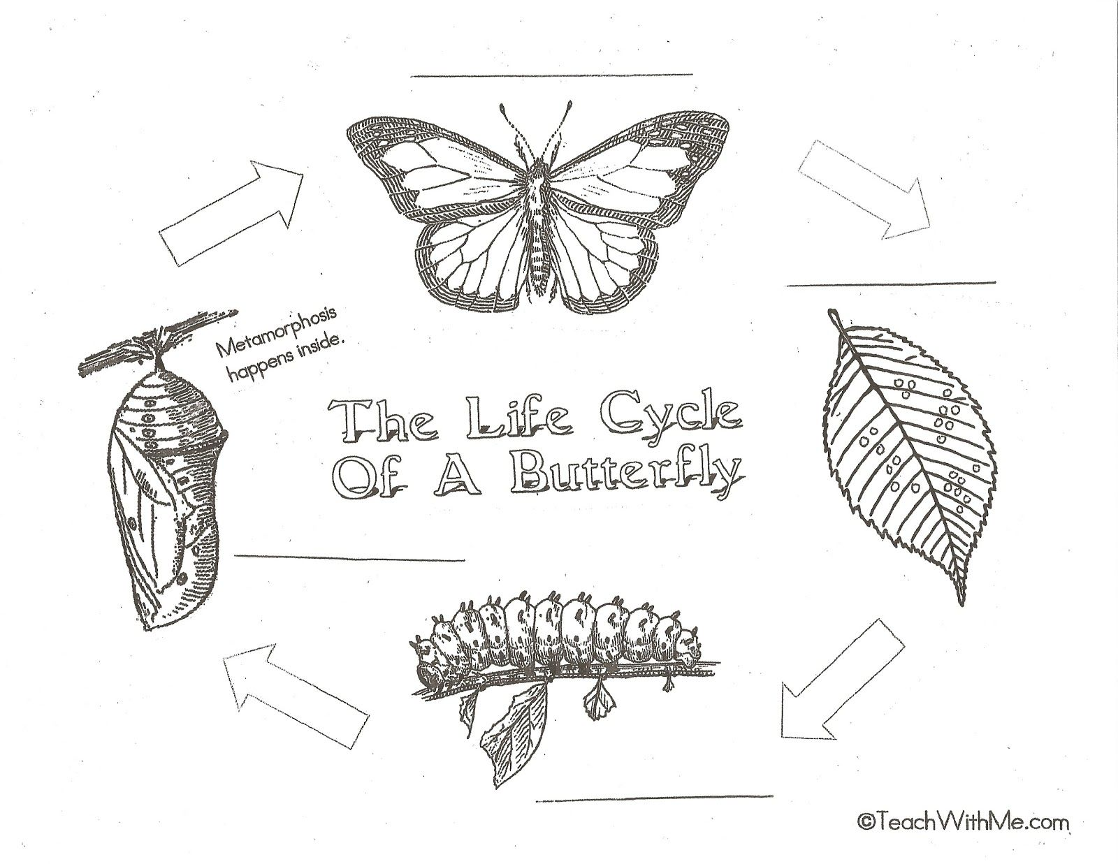 Coloring Pages Of The Butterfly Life Cycle. Classroom Freebies  Butterfly Life Cycle anchor charts posters life cycle