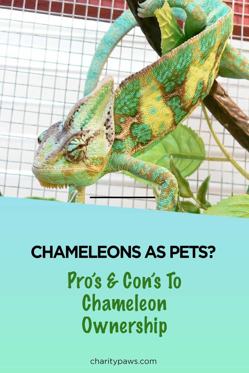 Wondering If A Chameleon Is A Good Pet It Depends On You In 2020