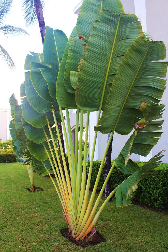 Traveler palm pinteres for Tropical pool landscaping plants