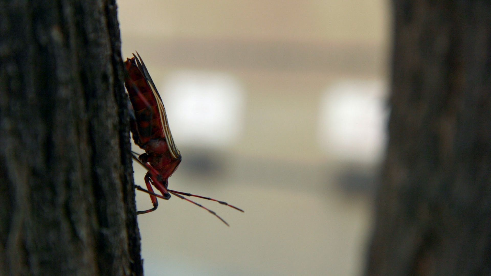 Hot weather brings Giant Mesquite Bugs down to earth