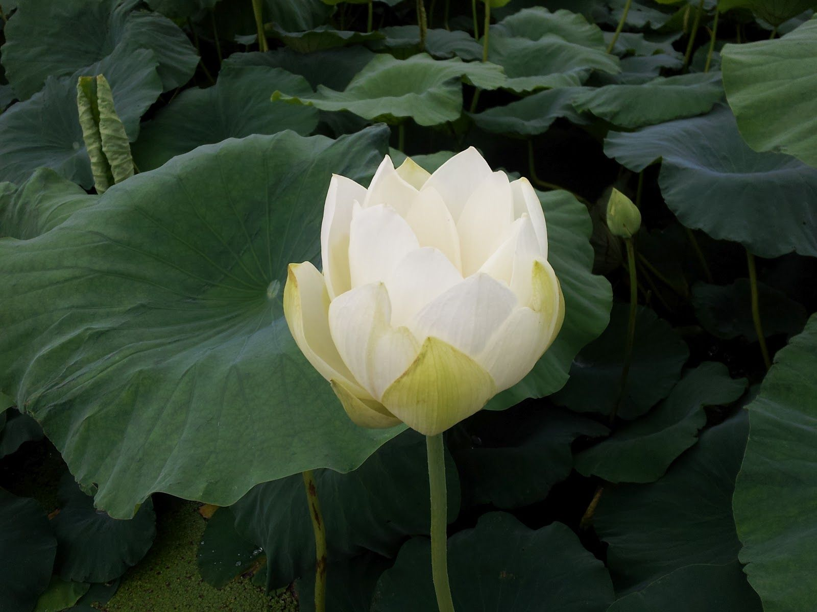 포천부동산 남전: 연꽃을 감상해 보셔요!