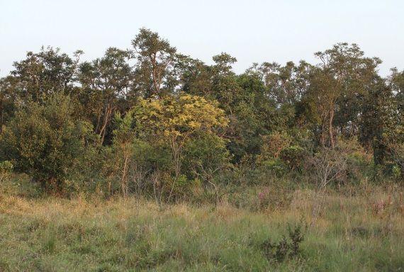 Vegetação de cerrado. São Carlos (SP).