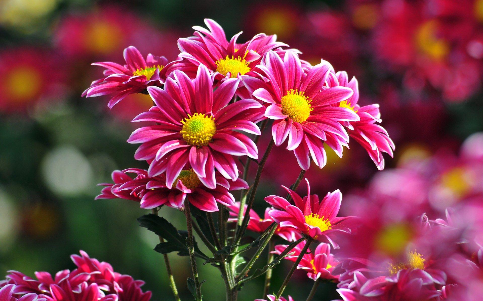 Pink-best-Flower-HD-pics