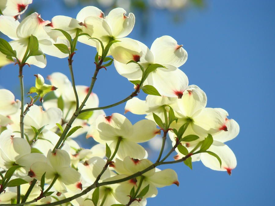 Dogwood Trees Flowers Flowering Nature Artwork Landscape Fine