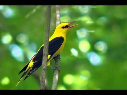 Фотографии и звуки птиц взяты из интернета,на авторские ...
