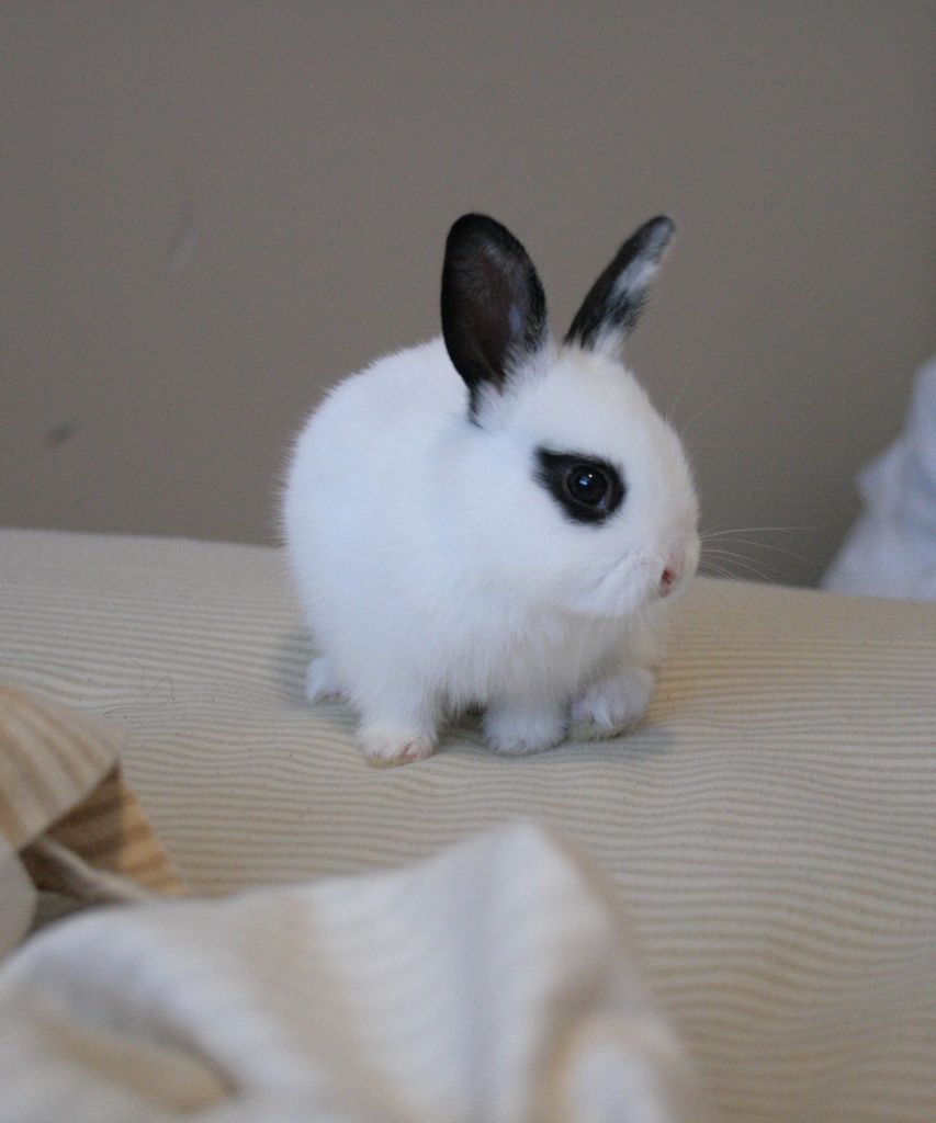 Cute Bunny Black & White Hand Sized Netherland Dwarf ...