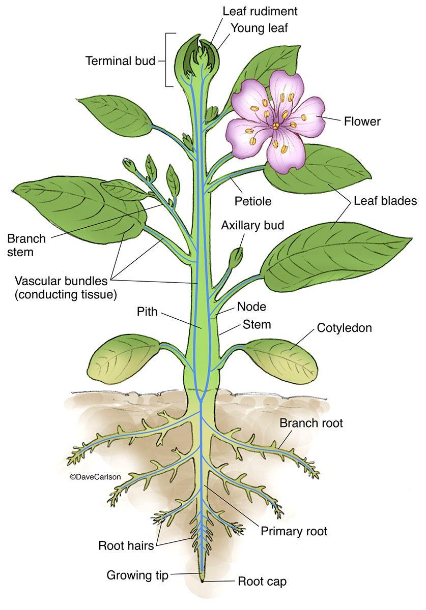 Vascular Plant Structure Photo Plant Structure Biology Plants Plants [ 1200 x 837 Pixel ]