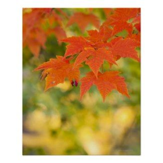 Red Maple Leaves in Autumn Poster by prophoto