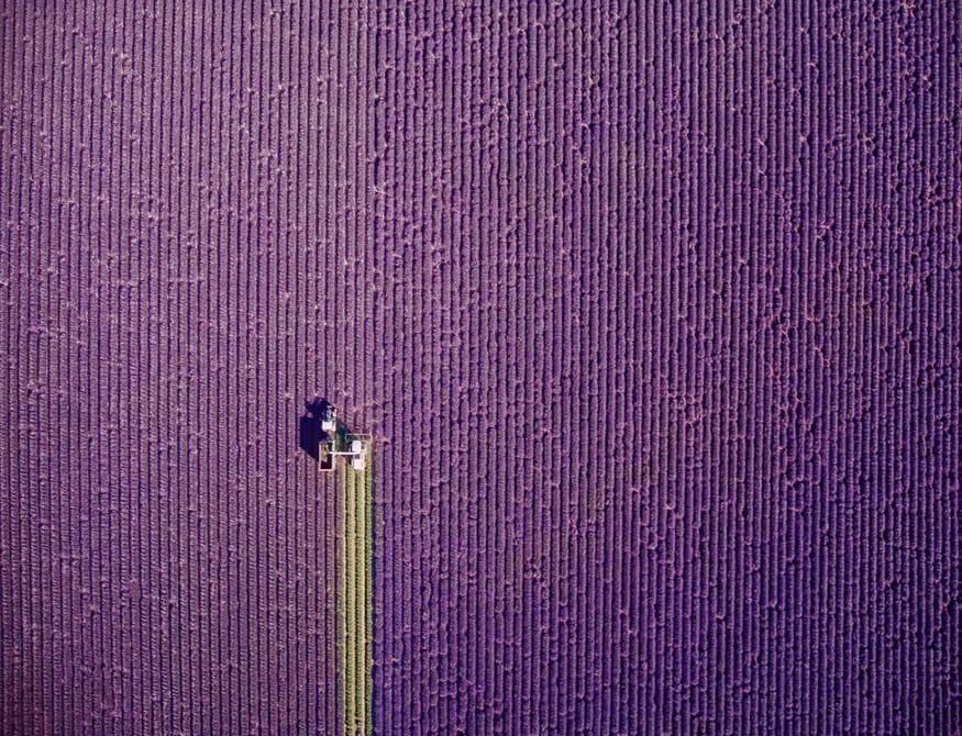 French fields of lavender