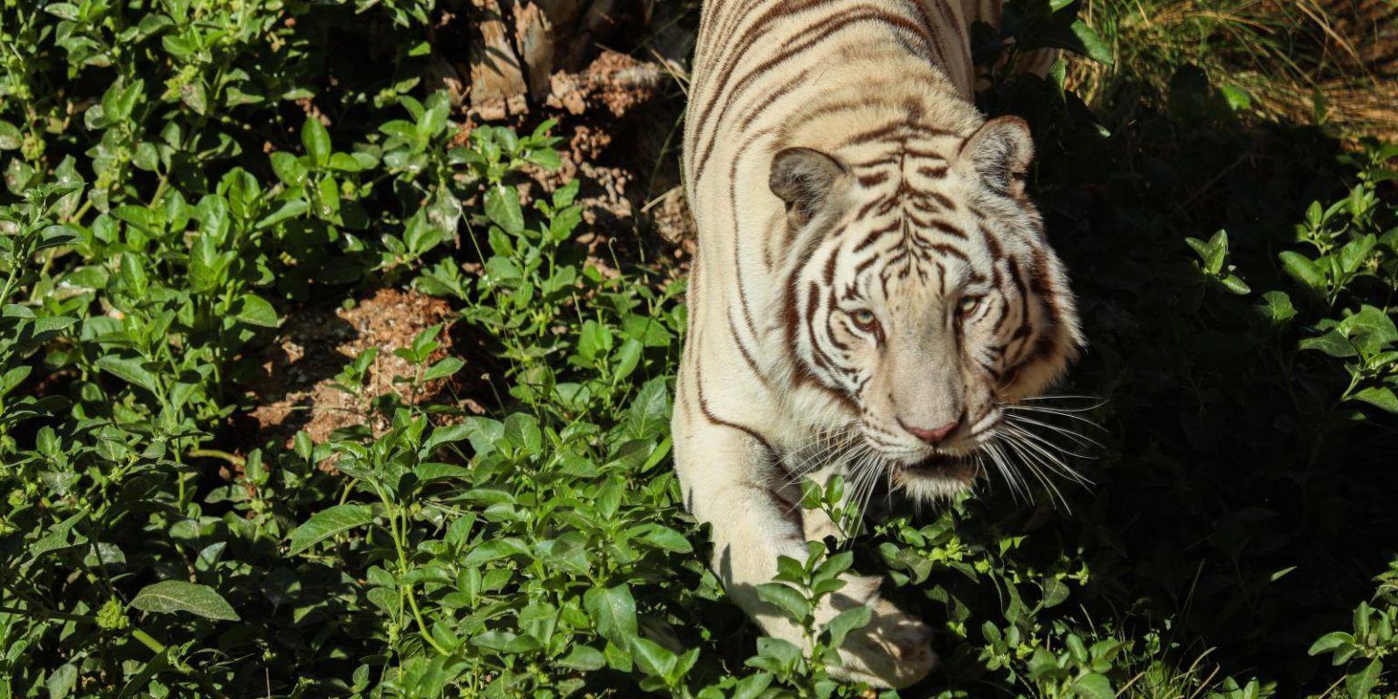 أدق 50 تفسير لرؤية نمر يلاحقني في الحلم لكبار الفقهاء موقع مصري In 2021 Animals Tiger