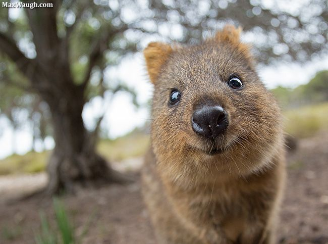 Animals That Start With Q Hhere Is A List Of All The Animals We Have Found Starting With The Letter Q The Quokka Setoni Happy Animals Quokka Animal Animals