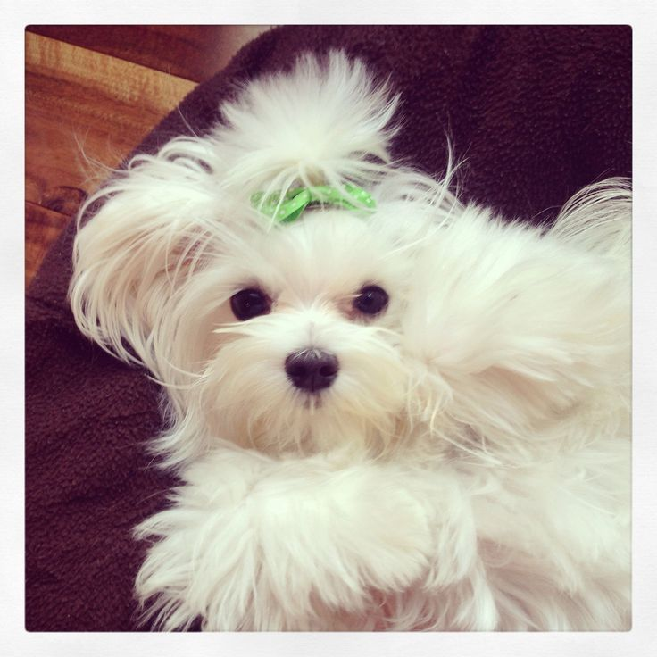 Lilly Jo Maltese 11 months old maltese Teacup puppies