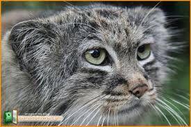 fotos de gatos exóticos - Pesquisa Google