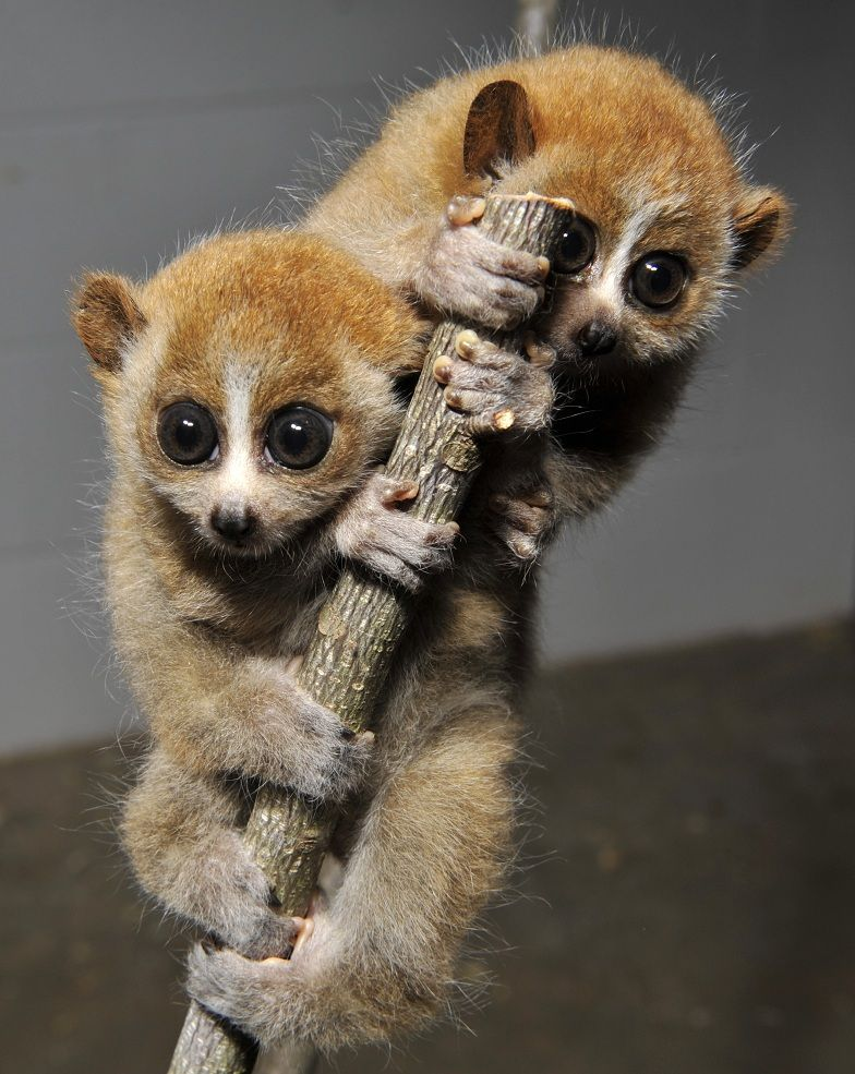 Pigmy slow loris twins Fauna Pinterest Pets, My