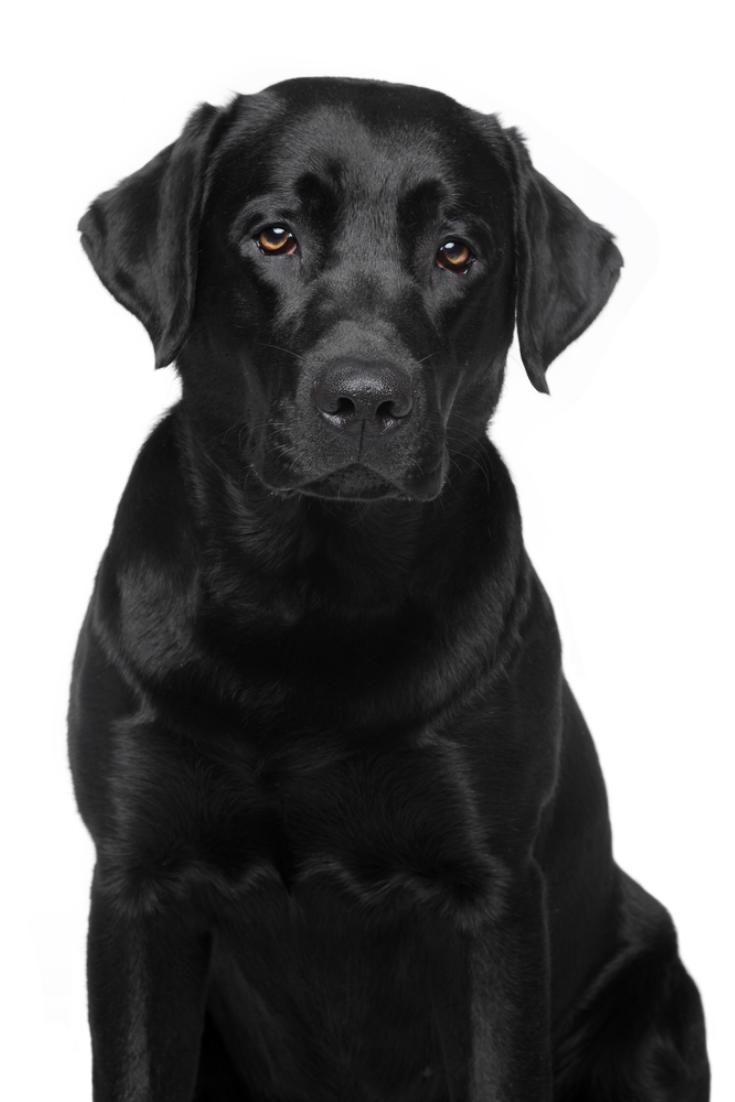 Black Labrador Retriever Dog Portrait On White Background Labradorretriever Golden Retriever Labrador Labrador Labrador Retriever