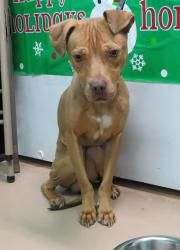 Baby Courtesy Posting Is An Adoptable Pit Bull Terrier Dog In