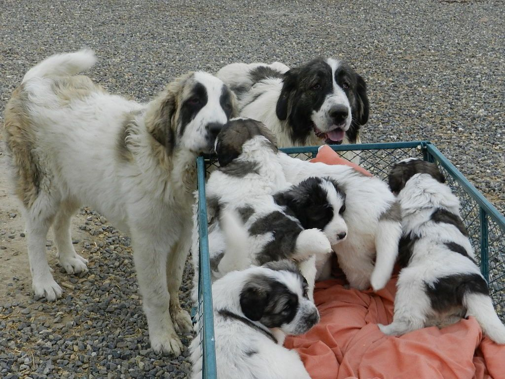 Sally and her first litter of Pyrenean Mastiff puppies