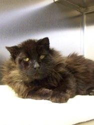 Buck is an adoptable Domestic Medium Hair-Black Cat in Brownsville, VT. I am a stray from the land of hard knocks. The person who brought me in described me as in rough shape. Here at the shelter, Ive...