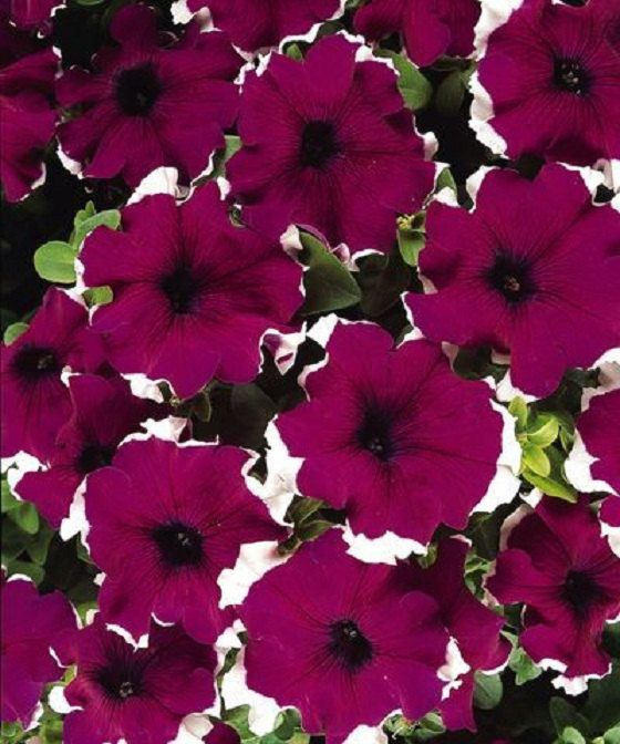 50 Pelleted Candypops Burgundy Picotee Pelleted Petunia Seeds