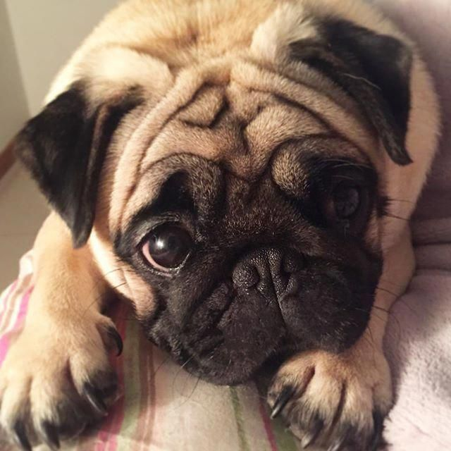 Baby Pug Dog Price In Kolkata Honden Schattig En Hondjes