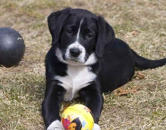 borador puppies for sale Google Search Unique dog