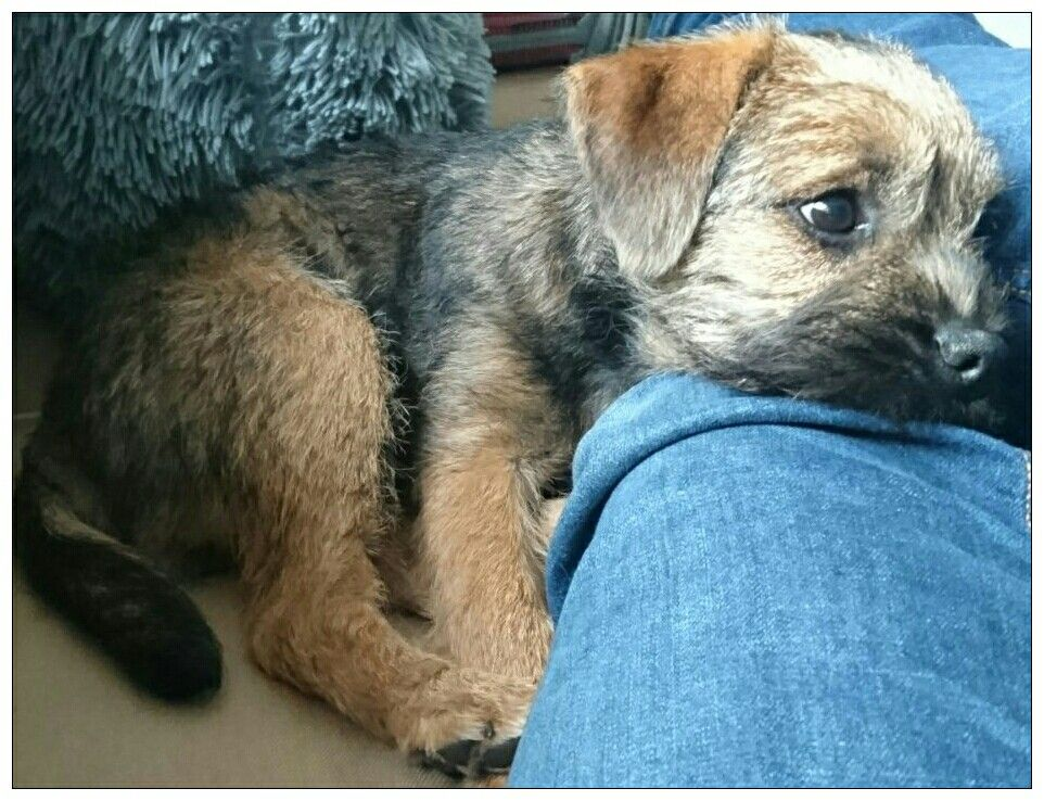 A Little Puppy Big Happiness Puck Border Terrier Puppy