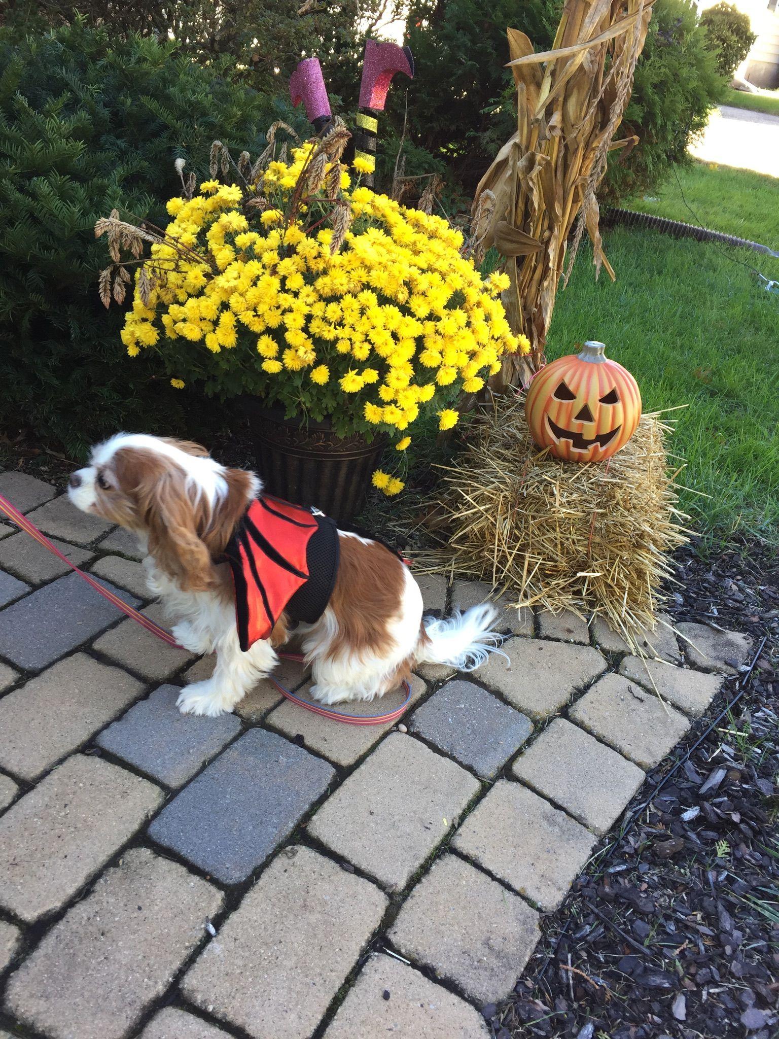 Ginger dressed up for Halloween.