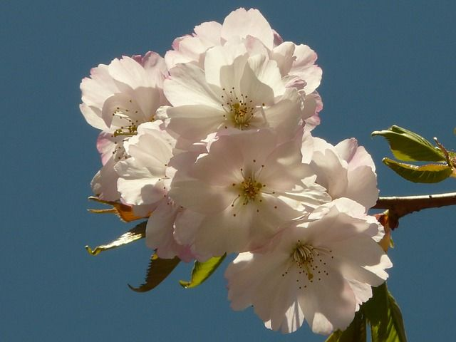 This is a Public Domain picture. cherry blossom, flower, tree, japanese cherry