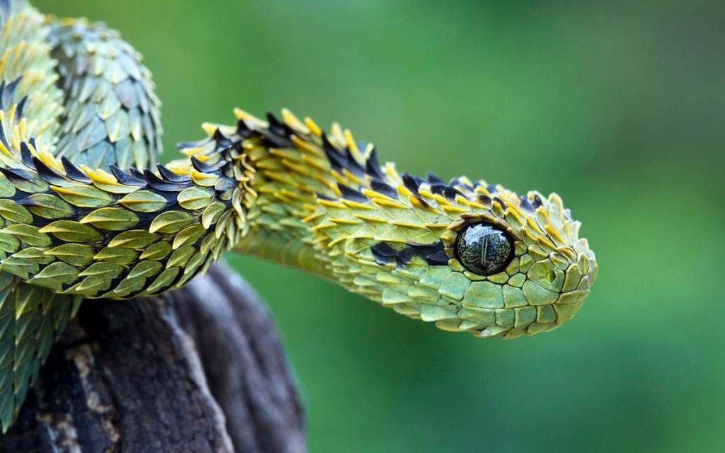 Bush Viper Species Profile Scientific Name Atheris Squamiger