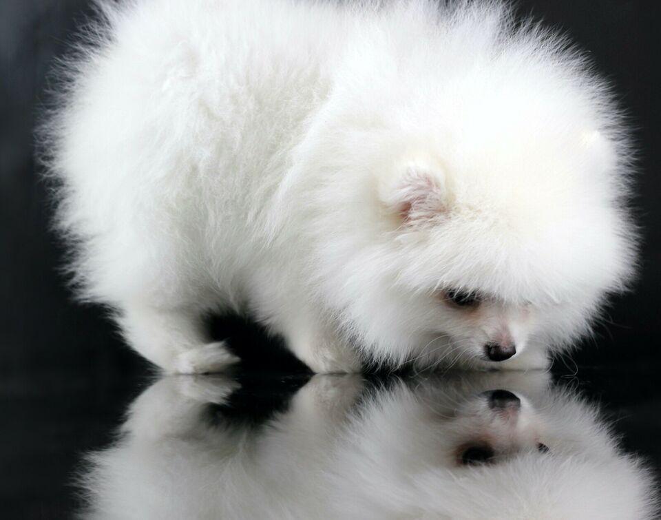 Zuckersusse Pomerian Zwergspitz Hundin Und Rude In Niedersachsen Rinteln Spitz Und Spitzwelpen Kaufen Eba Zwergspitz Hund Zwergspitz Pomeranian Zwergspitz