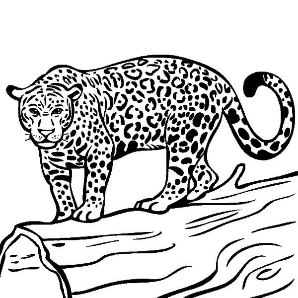 Jaguar Jaguar Ready To Hunt Coloring Pages Jaguar Ready To Hunt