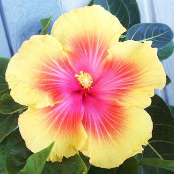 Hidden Valley Hibiscus Hibiscus Plant Hibiscus Flowers Flower Seeds