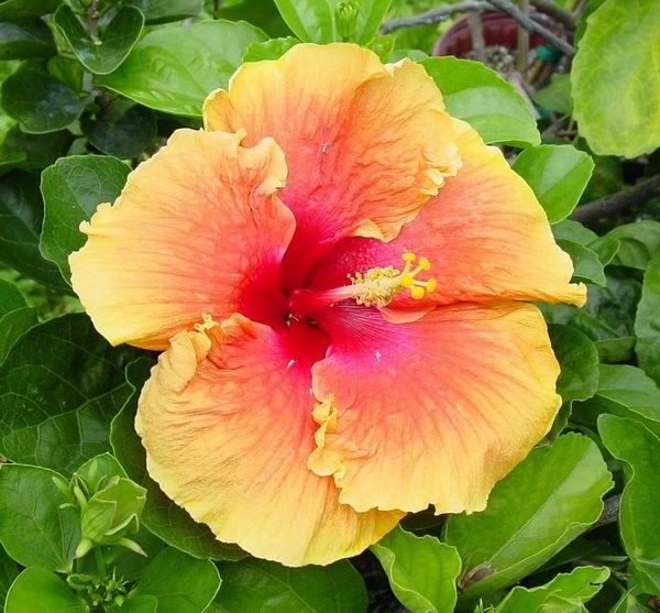 Tradewinds One Of The Largest Hibiscus Flower From Fancy Hibiscus