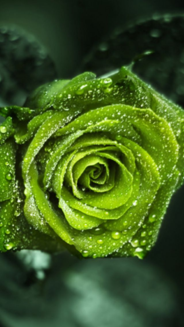 Pin By Mind S Mirror On Green Art Green Rose Beautiful Roses Green Flowers
