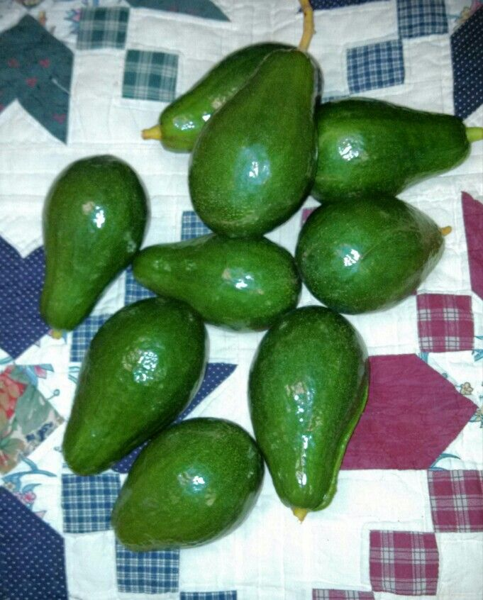 Florida backyard avocado time!