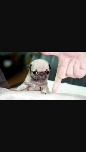 Bestgf I Will Get Her A Teacup Pug For Ine Of Her Bdays Baby
