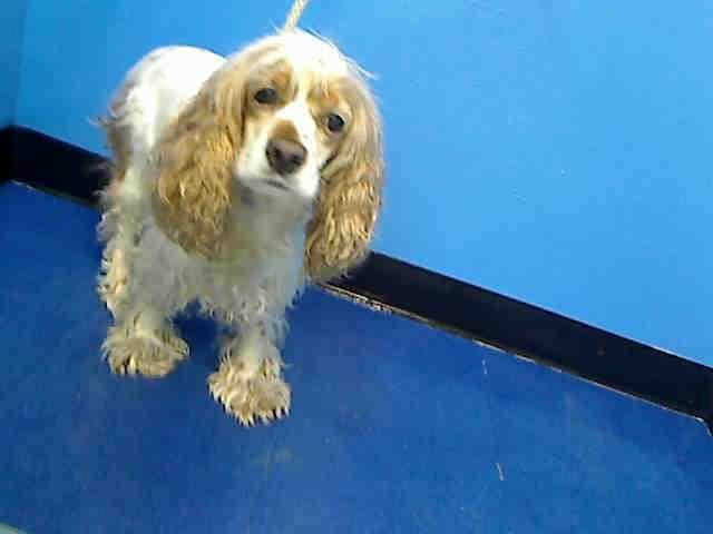 SAFE 01/01/15 --- SUPER URGENT 12/28/14 Manhattan Center  LADY aka SNOOKI - A0917798  I am a spayed female, white and tan Cocker Spaniel.  The shelter staff think I am about 10 years old.  I weigh 26 pounds.   I have been at the shelter since Dec 28, 2014. https://www.facebook.com/Urgentdeathrowdogs/photos/a.617942388218644.1073741870.152876678058553/317686664910886/?type=1&comment_id=931271163552430&notif_t=comment_mention ________ adopted at the age of 4 and 6 years later now returned