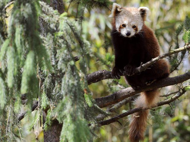 O panda vermelho é encontrado na região central da Ásia  Foto: AFP