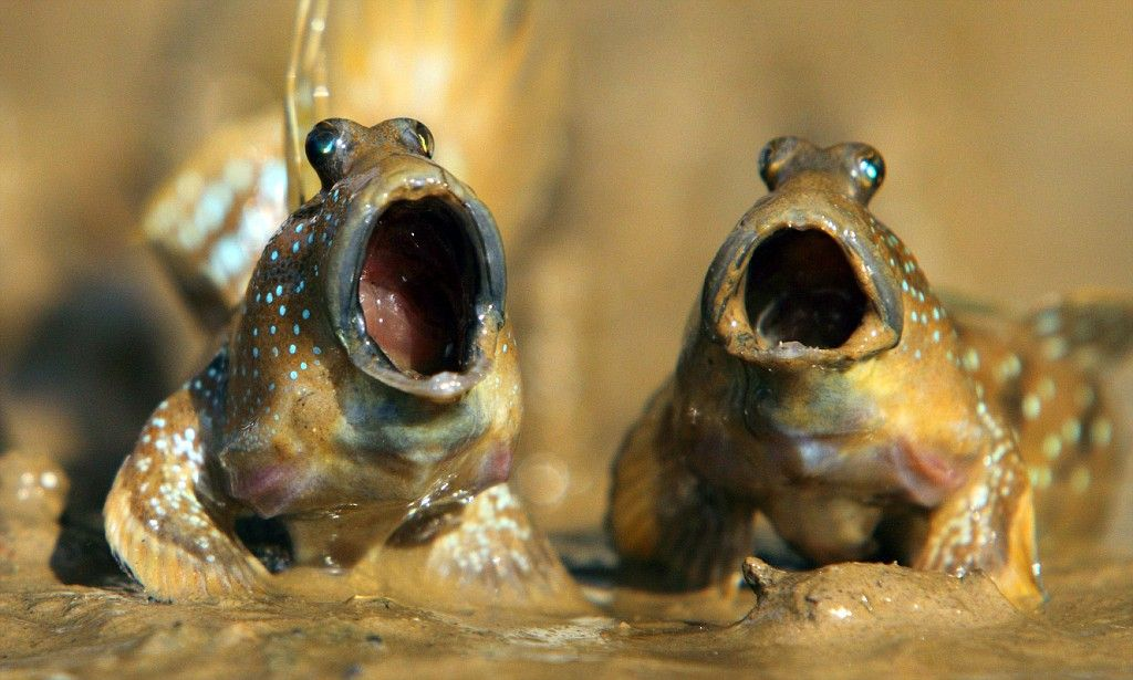 Mudskippers look like opera singers in the Thailand shallows ...
