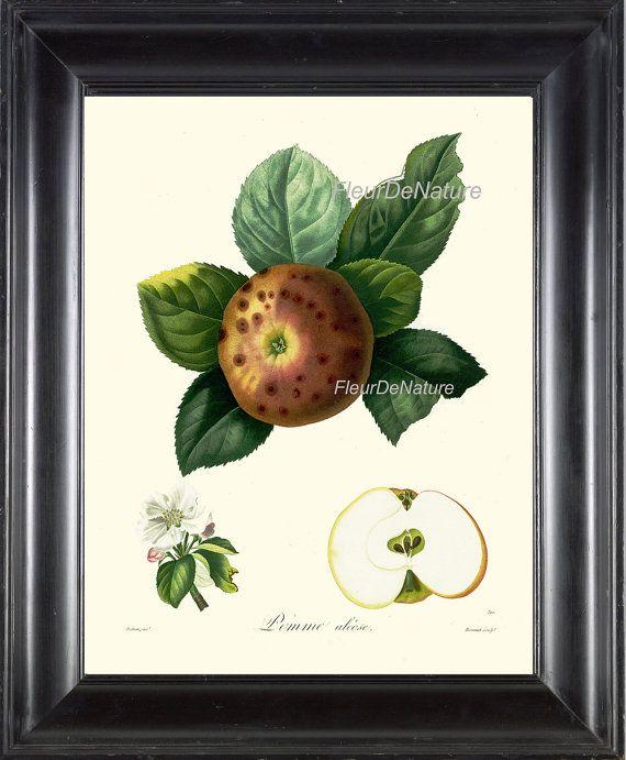 BOTANICAL FRUIT PRINT Poiteau 8x10 Botanical Art by FleurDeNature