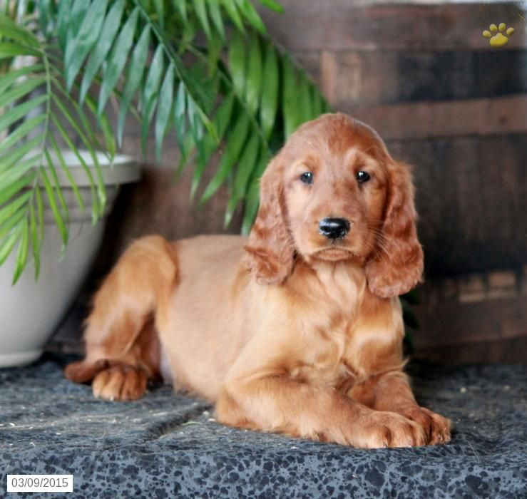 Irish setter puppy for sale in pennsylvania with images